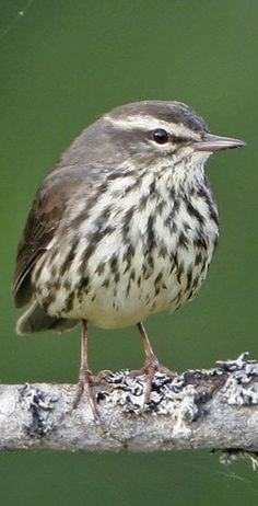 Northern Waterthrush, Parkesia noveboracensis: breeds in the north part of N.A. in Canada & the north U.S. including AK