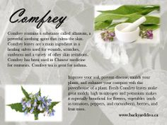 Comfrey by www.backyarddiva.ca