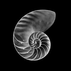 The Golden Mean- Nautilus shell photograph by Javiera Estrada