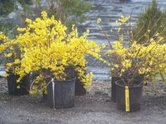 Would love to have some Forsythia in my garden.