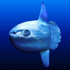 Mola Mola , Sun fish- it's the heaviest bony fish in the world , sometimes reaching 5000lbs! They are often seen basking in the sun near the surface.
