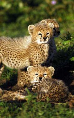 Kleine Jaguarwelpen