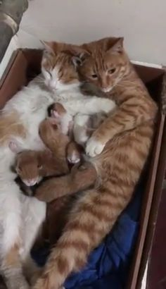 Animals Discover A family in their cardboard box home Gila - Baby Animals Cute Cats And Kittens I Love Cats Kittens Cutest Crazy Cats Cute Funny Animals Cute Baby Animals Funny Cats Beautiful Cats Animals Beautiful Cute Cats And Kittens, I Love Cats, Kittens Cutest, Crazy Cats, Ragdoll Kittens, Bengal Cats, Cute Animal Videos, Cute Animal Pictures, Amazing Pictures