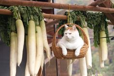 Shironeko, the Internet's Basket Cat, is just hanging around this afternoon. [2-2]