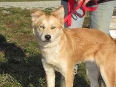 Sheba is an adoptable Australian Shepherd Dog in Medora, IN. Sheba is a Aussie/Golden mix. She is about a year old and has the prettiest ice blue eyes you have ever seen. She is gentle and sweet. S...