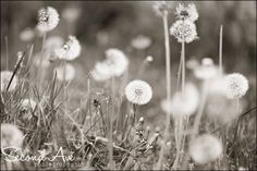 Fine Art Black and White Dandelions Print // Photography by SecondAvePhotography, $28.00