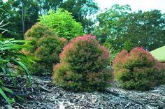 Melaleuca linariifolia  Claret Tops Common Name  Honey Myrtle  Gardening with Angus