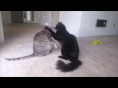 https://www.youtube.com/watch?v=JjOR4MoSRNU&feature=shareOur cute little cats starting grooming each other. But things escalate quickly and they start to play fight. But the play fight also ended very fast :)