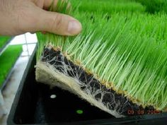 HOW TO GROW WHEATGRASS #gardenchat
