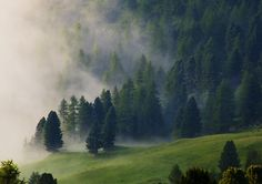 foggy pines