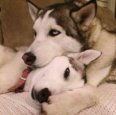 Wonderful All About The Siberian Husky Ideas. Prodigious All About The Siberian Husky Ideas. Le Husky, Siberian Husky Dog, Husky Puppy, Most Beautiful Dogs, Animals Beautiful, Cute Animals, Shiba Inu, Husky Mignon, Funny Dogs