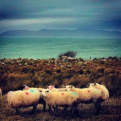 Sheep?  Atlantic Ocean? Fairy circle?  Must be #ireland #wildatlanticway Wild Atlantic Way, Atlantic Ocean, Sheep, Ireland, Fairy, Cottage, Animals, Animales, Animaux