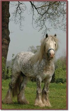 Handsome Indeed!  Gypsy Horse♥