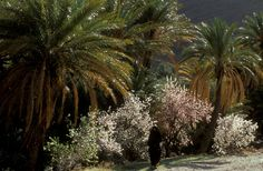 Almond blossom flourishes in Morocco's Ameln Valley by Jacques Bravo