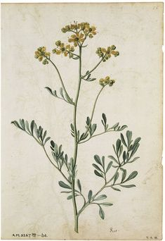 Image of rue or herb of grace, by jacques le moyne de morgues. Botanical Drawings, Botanical Prints, Wildflower Drawing, Indoor Flowering Plants, Plant Drawing, Nature Journal, French Artists, Wild Flowers, Sketches