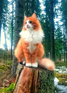 """A """"Foxy"""" Feline""""! ● Here is one majestic Norwegian forest cat, perched on a tree stump and seemingly playing the role of a guardian of his patch of woods. And a gorgeous one, too! Animals And Pets, Baby Animals, Funny Animals, Cute Animals, Sleepy Animals, Pretty Cats, Beautiful Cats, Animals Beautiful, Pretty Kitty"""