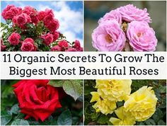 If you're an organic gardener then you'll know that trying to grow healthy roses can be a tricky affair! Roses, although beautiful, are a notoriously sensitive flower which can succumb to all manner of pests and diseases. It can be done though – after all, the Chinese have been growing roses organically for 5,000 years! The secret to organic gardening is understanding how nature works… [read more]
