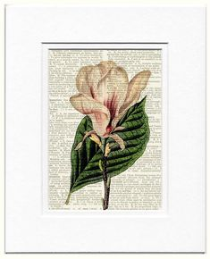 Hey, I found this really awesome Etsy listing at https://www.etsy.com/listing/62432157/vintage-magnolia-artwork-printed-on