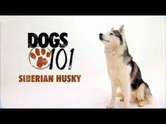 DOGS 101 - Siberian Husky [ENG]