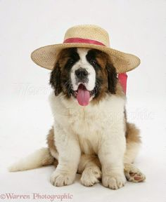Funny Animal Photos, Dog Pictures, Animal Pictures, Big Dogs, Cute Dogs, Baby Animals, Cute Animals, St Bernard Puppy, Puppies And Kitties