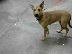 Mesa, AZ - American Pit Bull Terrier/German Shepherd Dog Mix. Meet KIKI, a dog for adoption. http://www.adoptapet.com/pet/16008843-mesa-arizona-american-pit-bull-terrier-mix