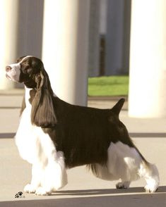This is a website for Cerise English Springer Spaniels owned and shown at AKC and CKC events by Mrs. Dorothy Cherry and her handlers, Howard Huber Jr; Springer Spaniel Puppies, English Springer Spaniel, Spaniel Dog, Spaniels, Corgi Puppies, I Love Dogs, Cute Dogs, Pet Life, Dog Photos