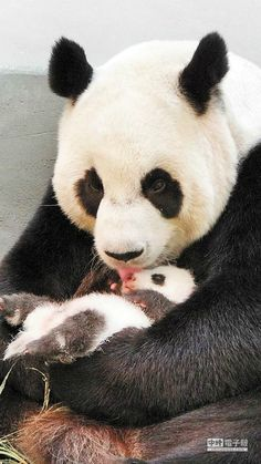 Giant panda Yuan Yuan licks her baby in their enclosure at Taipei Zoo. The cub, the first panda born in Taiwan, was delivered on 7 July at Taipei City Zoo Cute Baby Animals, Animals And Pets, Funny Animals, Baby Pandas, Baby Panda Bears, Giant Pandas, Red Pandas, Panda Love, Cute Panda