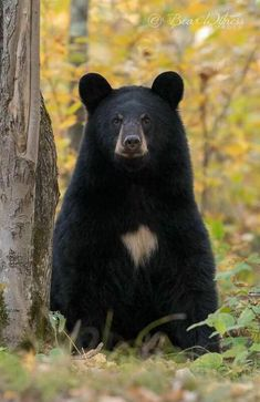 Bear Pictures, Cute Animal Pictures, Beautiful Creatures, Animals Beautiful, Bear Cubs, Grizzly Bears, Animals And Pets, Cute Animals, American Black Bear