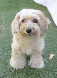Inverness, FL - Havanese Mix. Meet Stray-Save A Lot Inv-Avail 10/2, a dog for adoption. https://www.adoptapet.com/pet/19424986-inverness-florida-havanese-mix