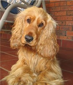 English Cocker Spaniel ~ Classic Look & Trim Pets, Pet Dogs, Dogs And Puppies, Dog Cat, Doggies, English Cocker Spaniel Puppies, Black Cocker Spaniel, Spaniel Breeds, Dog Breeds