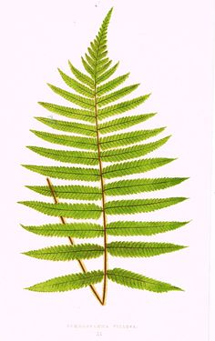 "Lowe's Ferns - ""GYNOGRAMMA VILLOSA (XI)"" - Chromolithograph - 1856"