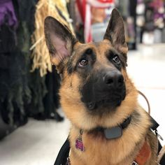 Beauty reaction to a decoration going off at Female German Shepherd, German Shepherd Puppies, German Shepherds, Best Dog Food, Best Dogs, I Love Dogs, Cute Dogs, Dog Food Brands, Dog Activities