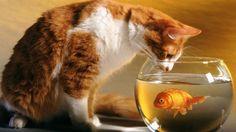 Goldfish and Cat