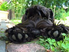 Oh, those schnauzer bear-paws! Schnauzer Mix, Giant Schnauzer, Miniature Schnauzer, Black Schnauzer, Cute Puppies, Cute Dogs, Dogs And Puppies, Doggies, Animals And Pets