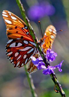 Gulf Firtillary butterfly
