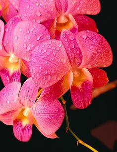 Vanda Orchids by Carl Shaneff