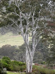 The bushland, Australian gum trees, Australian owned