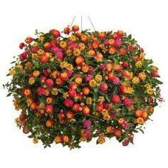 Proven Winners Luscious Berry Blend Lantana 4.25 in. Grande-LANPRW2046520 at The Home Depot