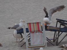 Seagulls raiding someone's lunch on the #beach. Smith Point Beach, #Longisland