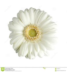 white-gerbera-daisy-isolated-14848574.jpg (1300×1390)