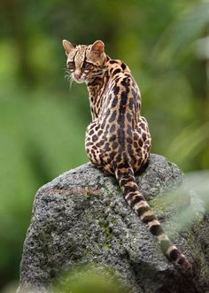 Ocelot cat is an exotic wild cat with its origins in South America, although these cats can be found even in states like Texas. Ocelot cats are. Small Wild Cats, Big Cats, Cool Cats, Cats And Kittens, Beautiful Cats, Animals Beautiful, Cute Animals, Ocelot, Margay Cat