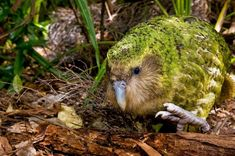 The Kakapo is a species of large, flightless, nocturnal, ground dwelling parrot from New Zealand. The Kakapo is critically endangered and as few as 126 still exist. Flightless Parrot, Kakapo Parrot, Rare Birds, Weird Birds, Bird Pictures, Animal Pictures, Big Bird, Tortoises, Endangered Species