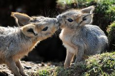 Cute Baby Patagonian Maras spotted showing each other affection in the spring sunshine at ZSL Whipsnade Zoo on April 7, 2015 in Dunstable, England. (Photo by Tony Margiocchi/Barcroft Media)