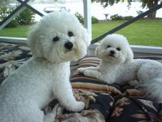 two is better than one Bichon Dog, Maltese Dogs, Baby Animals Super Cute, Cute Animals, Funny Dog Pictures, Cute Pictures, Cute Puppies, Dogs And Puppies, Dog Memorial