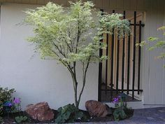 PlantFiles Pictures: Japanese Maple 'Butterfly' (Acer palmatum) by doss Buy Plants, Autumn Garden, Plants, Screen Plants, Maple Tree, Buy Plants Online, Deciduous Trees, Japanese Maple Tree, Small Trees For Garden