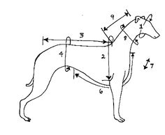 how to measure your whippet for a coat