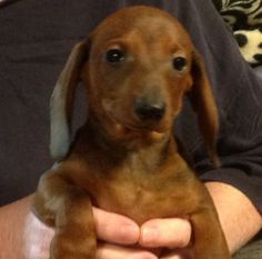 Litter Of 2 Dachshund Puppies For Sale In Mobile Al Adn 64310 On