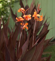 'Intrigue' is a particularly lovely canna with stiff upright leaves in a delightful shade of purple-gray, kind of like when you leave a chocolate bar sitting out too long. In late summer, it has orange-red flowers, but they really take a backseat to the foliage. Name: Canna 'Intrigue' Growing Conditions: Sun and moist, well-drained soil Size: To 7 feet tall and 2 feet wide Zones: 8-10, but can be treated like an annual or stored in a cool, frost-free place for winter