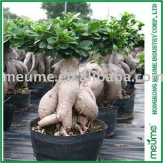 Chinese ficus microcarpa