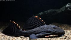 Three Beacon Pleco, would love an aquarium big enough for one of these fish (they get about Aquarium Catfish, Sea Aquarium, Tropical Fish Aquarium, Fish Aquariums, Tropical Freshwater Fish, Freshwater Aquarium Fish, Pleco Fish, Plecostomus, Tetra Fish